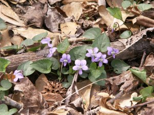Common violets at the Chattahoochee National Recreation Area (April 3).  In the ancient world, violets symbolized modesty and were sacred to Great Mother Cybele.